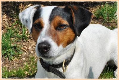 Jack Russell Terrier aus der Grindauer Marsch